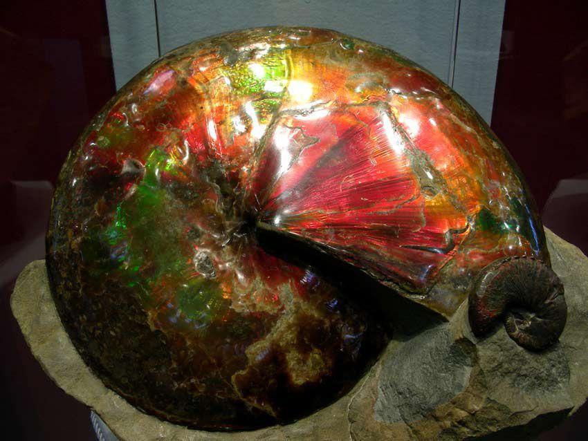 Ammonite Nacrée du Canada