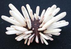 Heterocentrotus mammillatus Albinos Apical 4RPa (barkat.marc