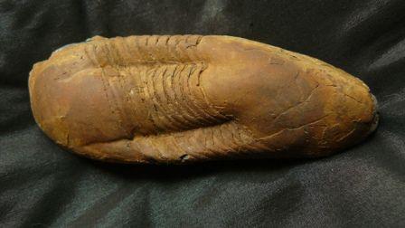 ectillaenus giganteus, ordovicien, la dominelais, 35, 2