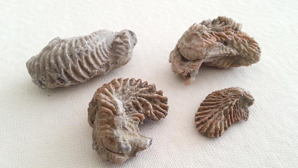 Lophas gregaria