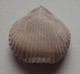 brachio 1.JPG