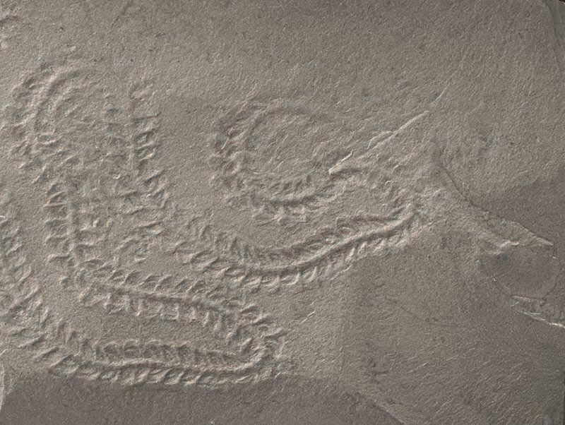 Silurian-Mantell-Annelida-Tracks2.jpg