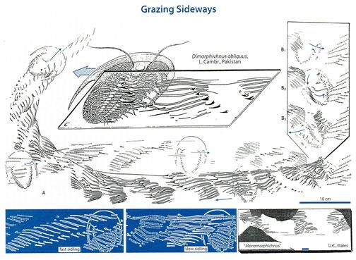 Trilobite-Grazing-Seilacher.jpg