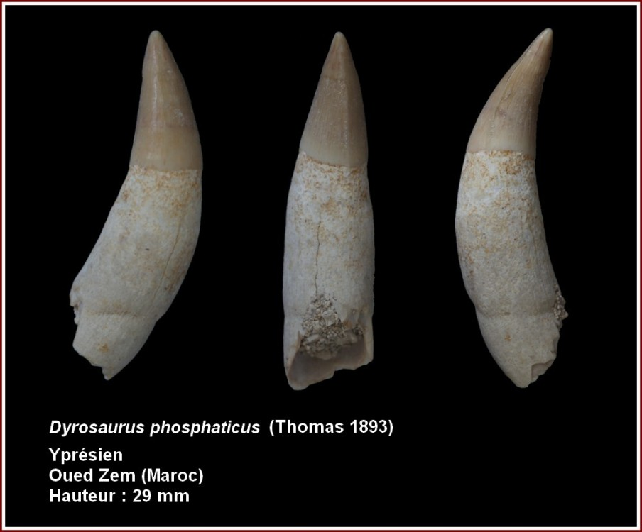pl_dyrosaurus_maroc.jpg