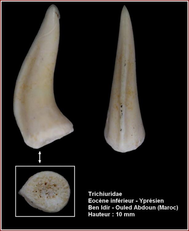 pl_trichiuridae_maroc1.jpg