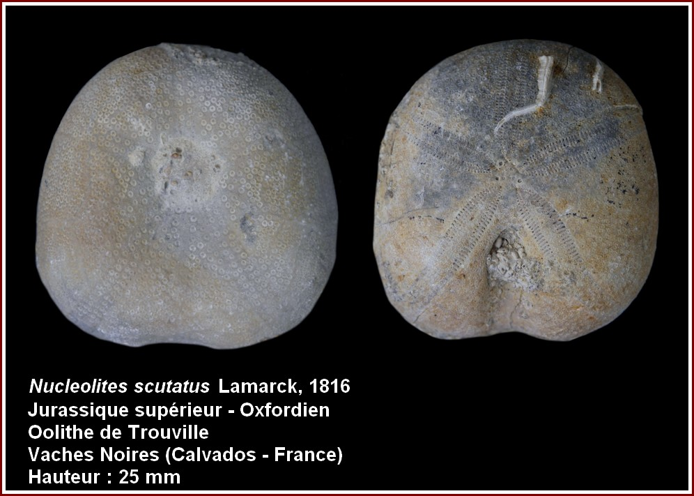 pl_nucleolites_scutatus.jpg