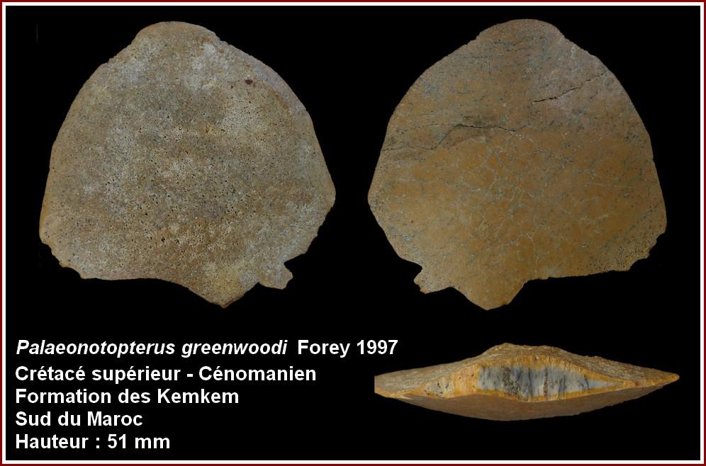 pl_palaeonotopterus_greenwoodi.jpg