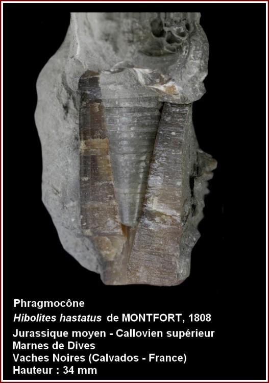 pl_phragmocone_vsm.jpg