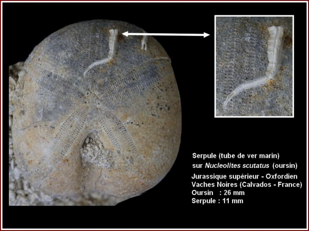 pl_serpule_sur_nucleolites_vsm.jpg