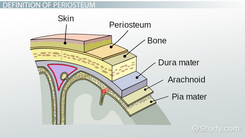 periosteum-of-bone-definition-function_123243.png