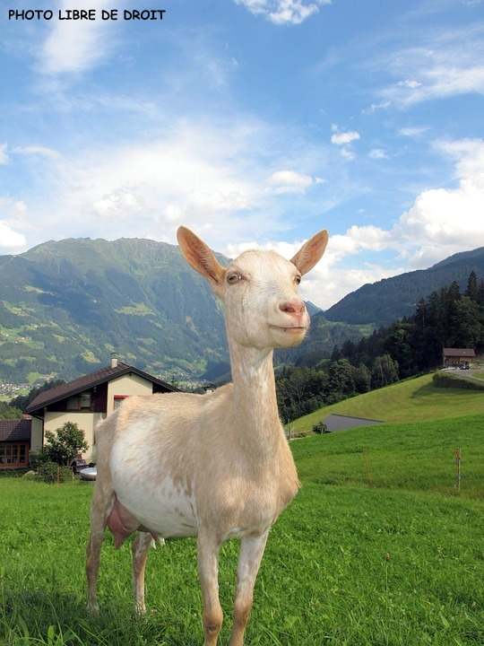 goat-in-austria-198455_960_720.jpg