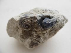 Helix ramondi fossilisé