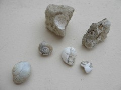 Fossiles helix ramondis