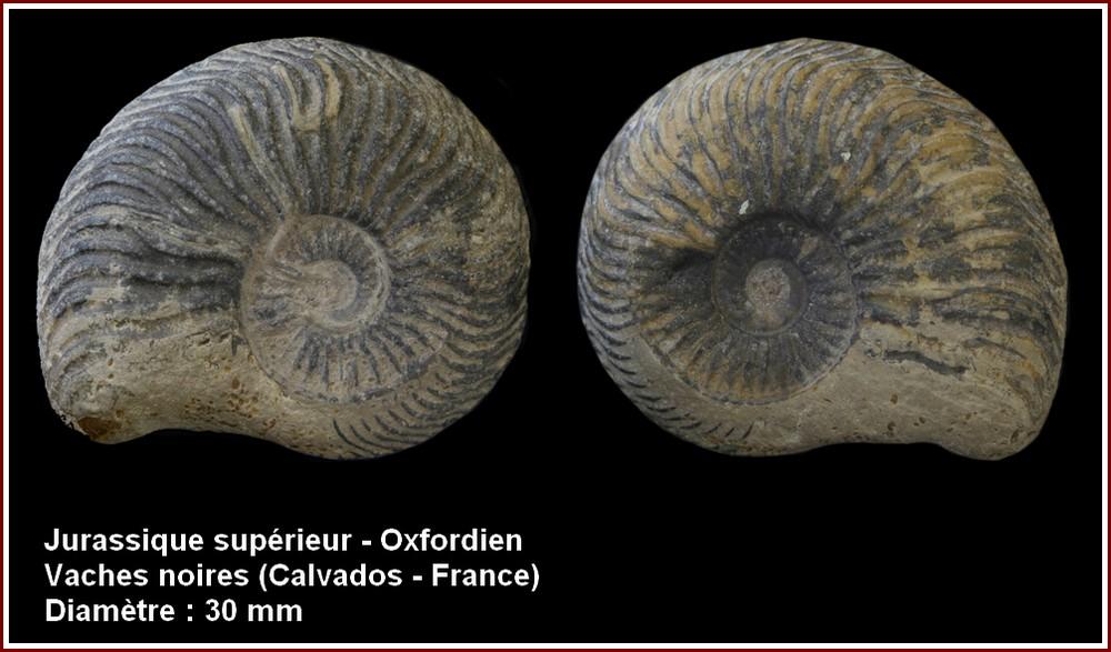 pl_ammonite_oxf1.jpg