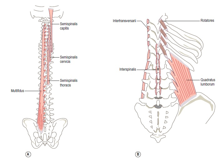 A-The-left-multifidus-muscle-posterior-view-B-right-quadratus-lumborum-the-lower-interspinalis-the-lower-four-right-rotatores-and-left-intertransversarii-muscles-posterior-view.jpg