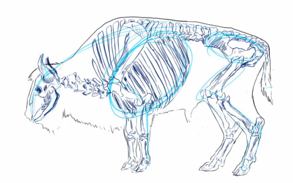 bison_anatomy_sketch_by_anm8ed-d7hfzcm.png