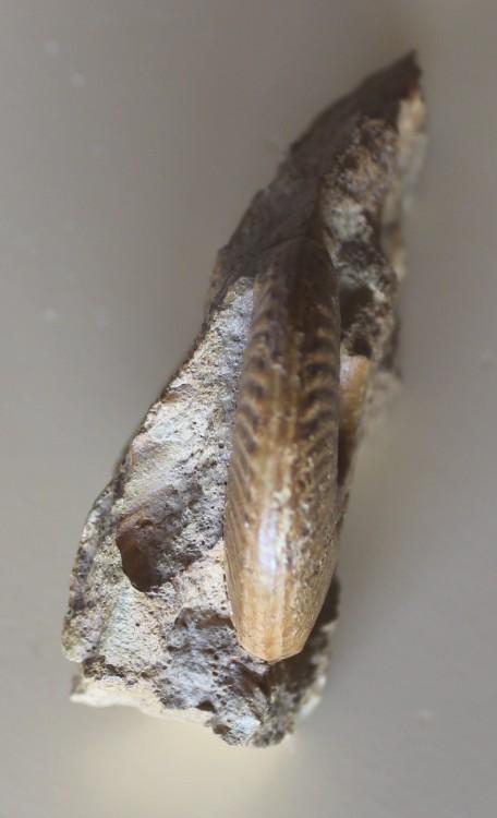 Hecticoceras sp. aff. hecticum Heinnecke, 1818 3.JPG