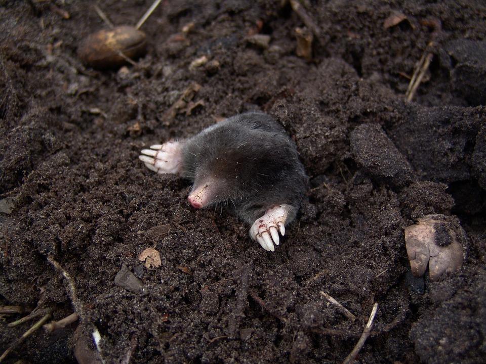 mole-13298_960_720.jpg