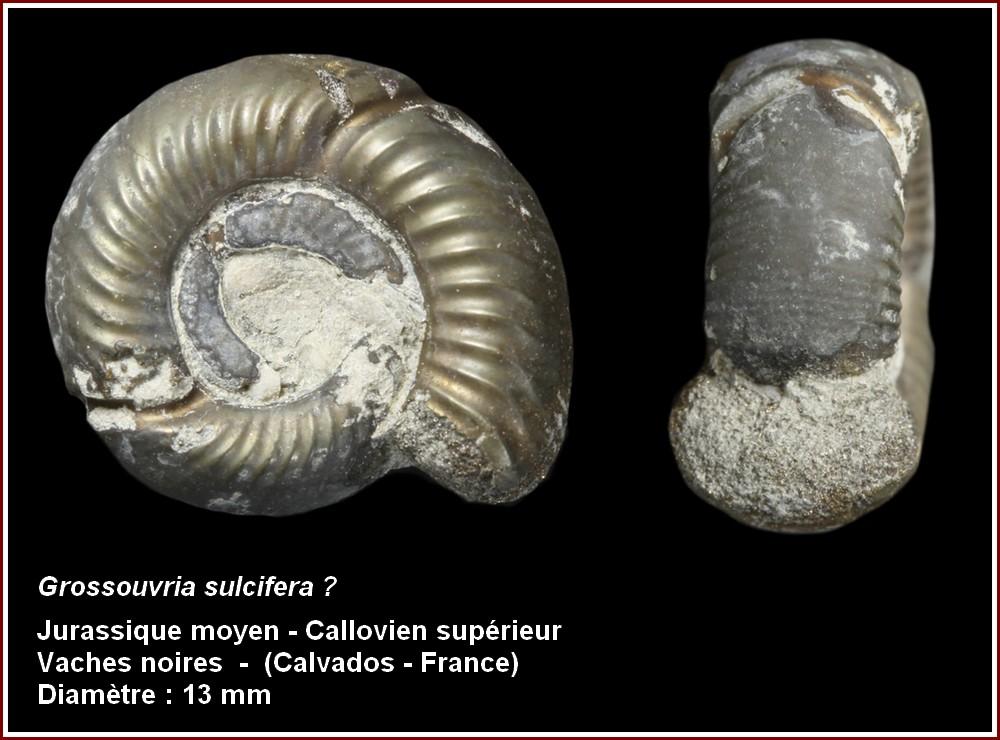 pl_ammonite12.jpg