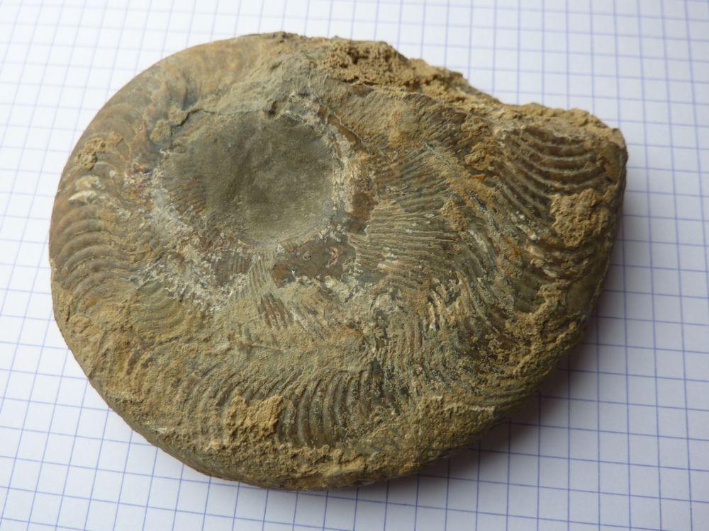 Harpoceras subplantanum 1.JPG