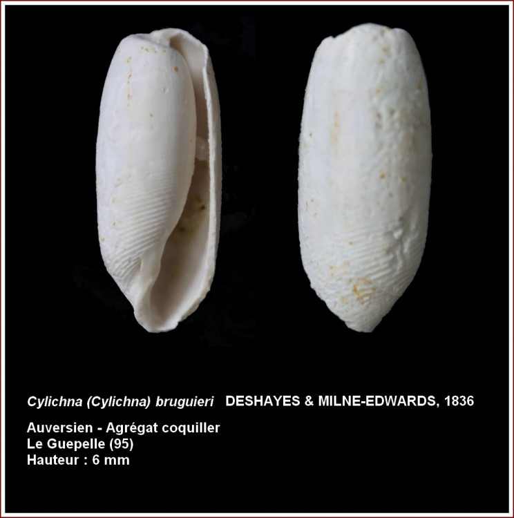 133493cylichnacylindroidesguepelle.jpg