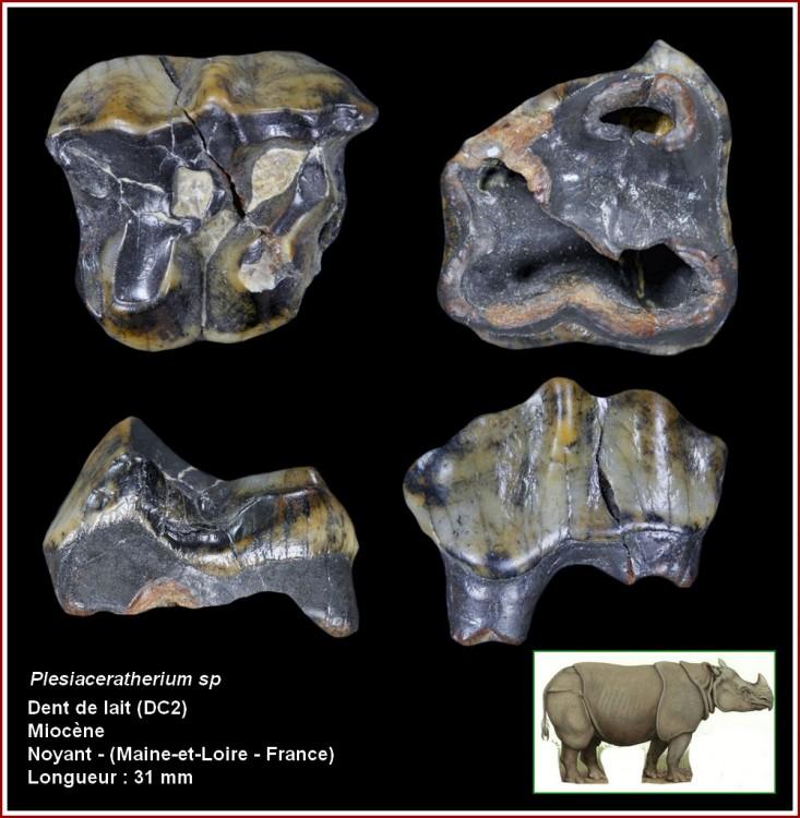 pl_plesiaceratherium.jpg