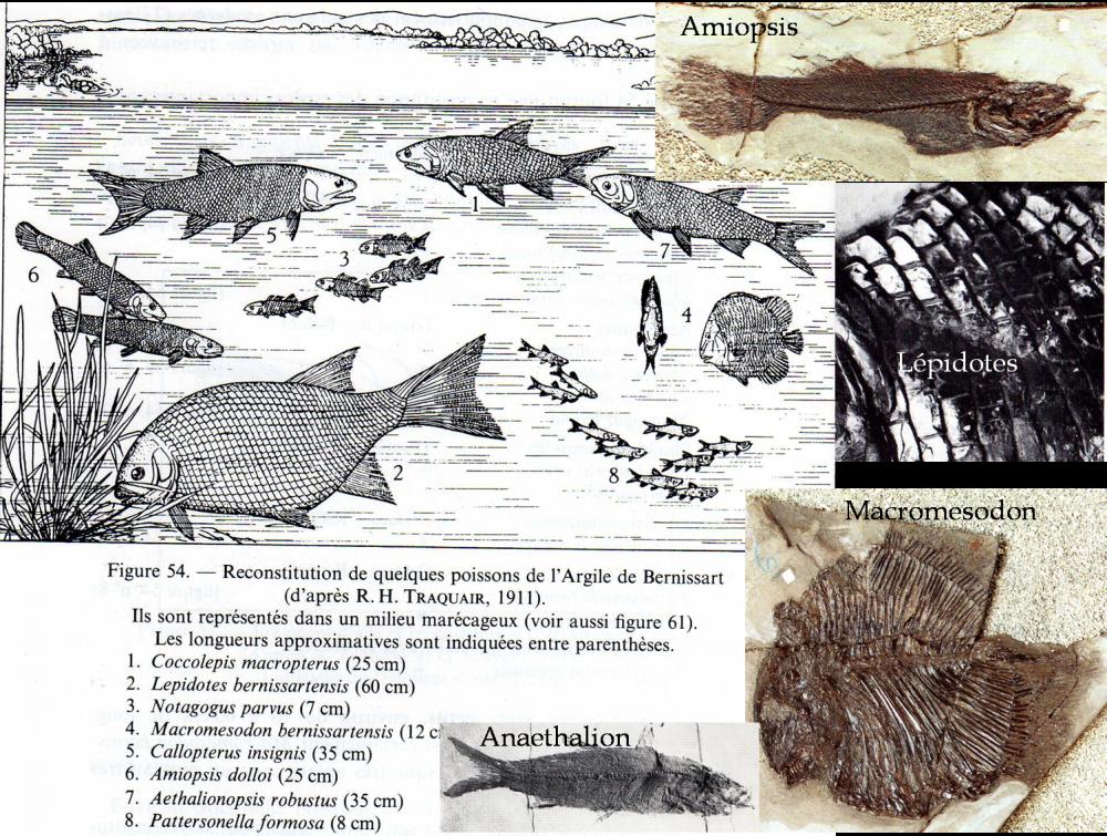 actinopterygiens bernissart.png