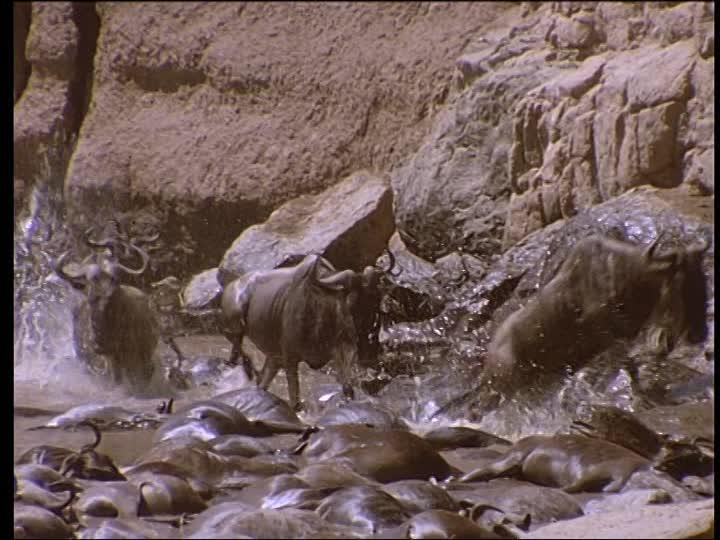 759114295-troupeau-de-gnous-cadavre-animal-mort-kenya.jpg