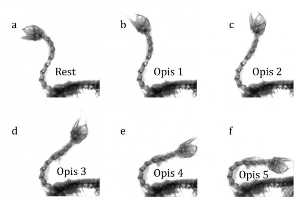 chicken-opisthotonic.jpg