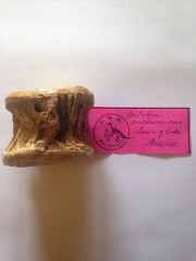 Vertebre Onchosaurus