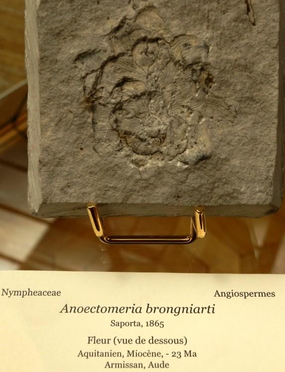 Anoectomeria Brogniarti, Aquitanien, Miocène, Armissan (Aude).JPG