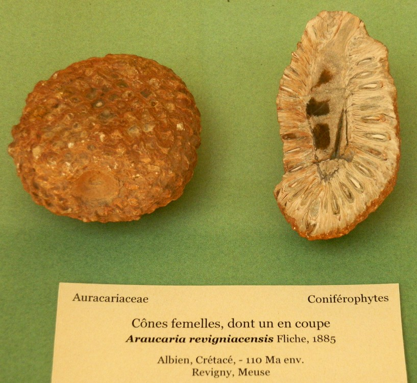 Araucaria revigniacencis, Albien, Crétacé, Revigny (Meuse).JPG