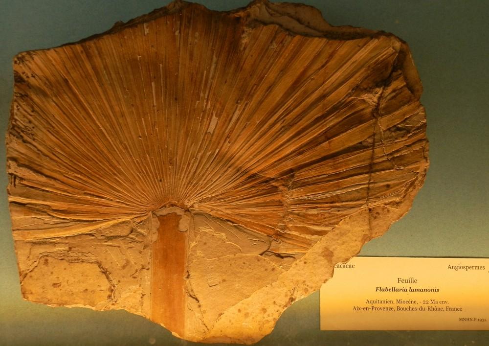 Flabellaria lamanonsis, Aquitanien, Miocène, Aix en Provence (Bouches du Rhône).JPG