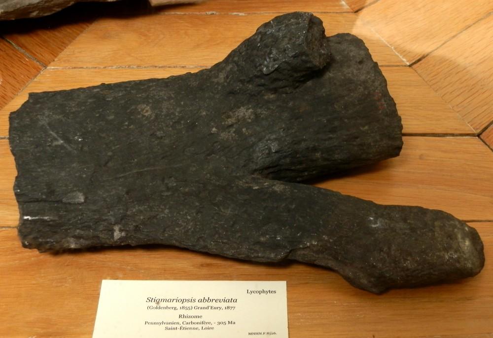 Stigmariopsis abbreviate, Pennsylvanien, Carbonifère, Saint-Étienne (Loire).JPG