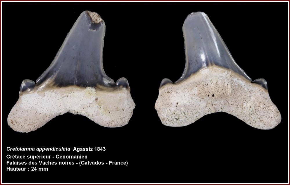 pl_cretolamna_appendiculata_vsm.jpg