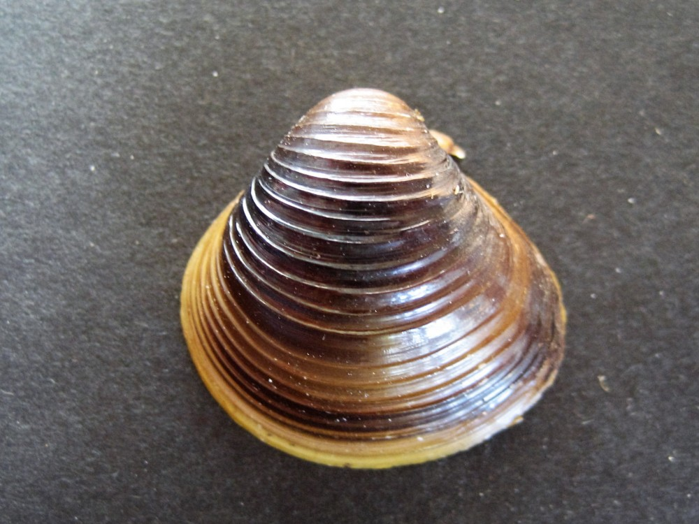 Coque d origine Asiatique(Corbicula fluminea)vivant en eau douce-Sanguinet(41)Landes.JPG