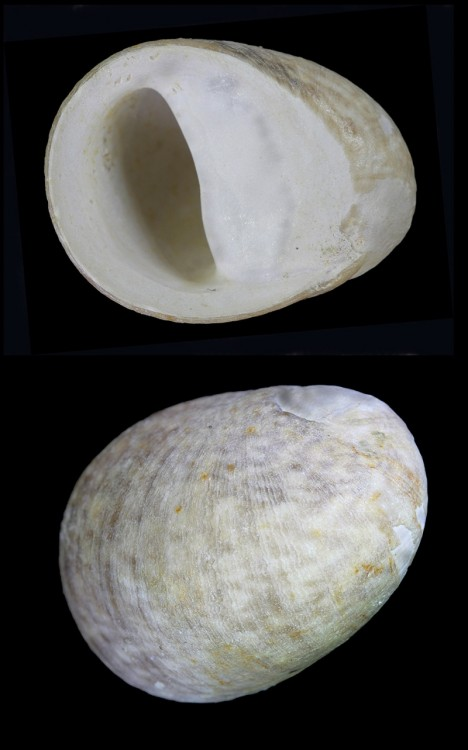puperita auversiensis_pons_001.jpg