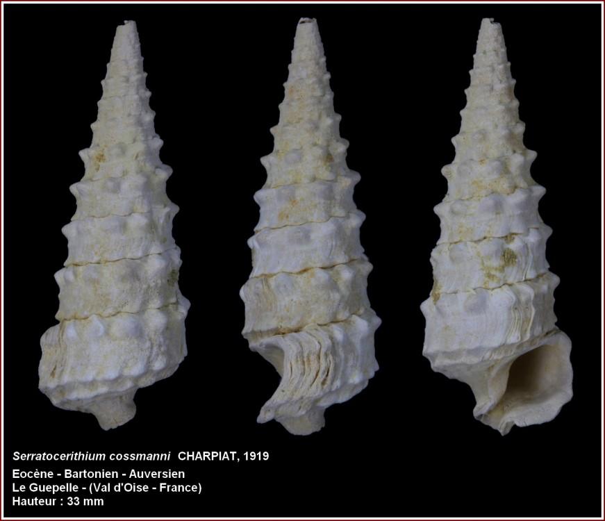 serratocerithium_cossmanni.jpg