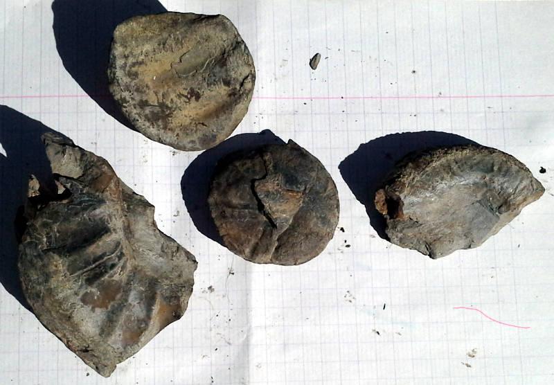 59db31ad7d50b_Ammonitessite2N2.jpg.d8e8eef5d85557f774d7f73708b87ab8.jpg