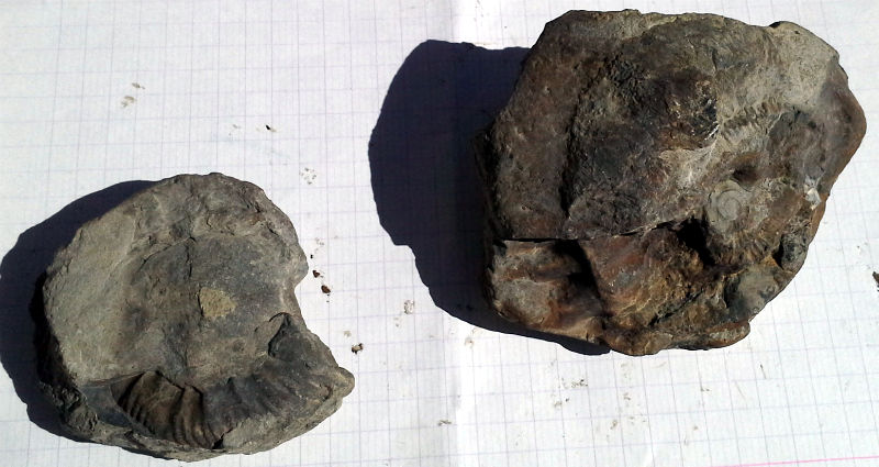 59db320d795c1_Ammonitessite2N3.jpg.7a093df39e3edc0bbb736e94d7e542fc.jpg