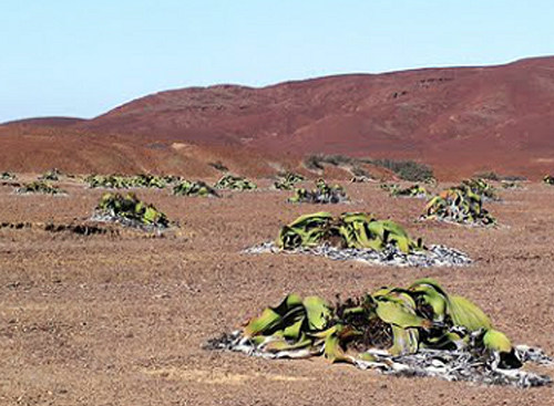 welwitschia.jpg.77244f1ff4a9a19568262dd08da35b5c.jpg