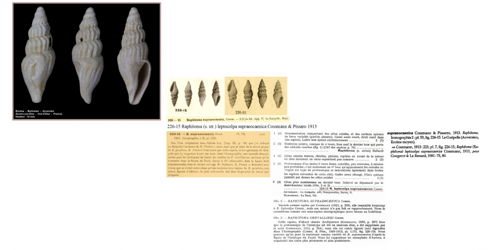 Raphitoma leptocolpa supraeocaenica.png