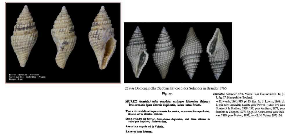 Domenginella conoides.png
