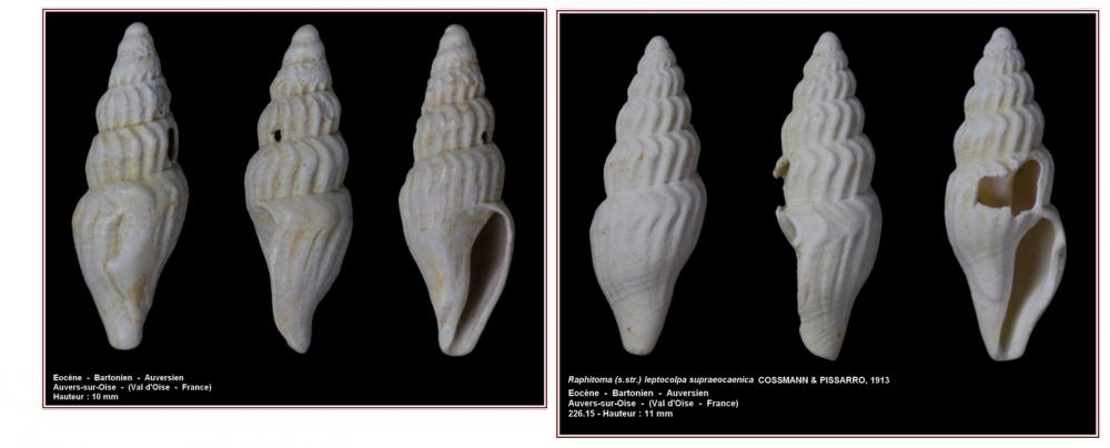 Raphitoma leptocolpa supraeocaenica 2.png