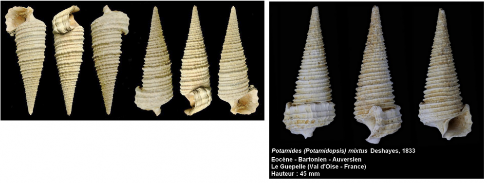 Potamides mixtus trivittatus.png