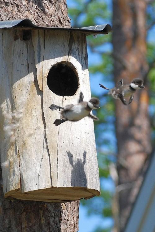 baby-common-goldeneye-ducks-leaving-nest-flying-for-first-time-682x1024.jpg