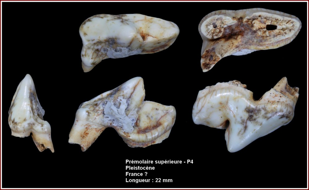 pl_p4_carnassier.jpg