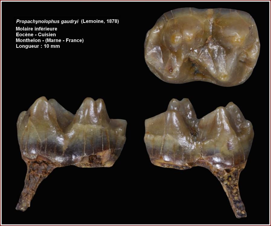 propachynolophus_gaudryi_1.jpg