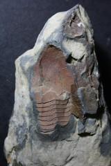 """trilobites ordovicien """"la palue"""" presqu'île de crozon"""