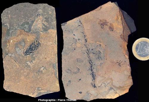348-fossile-vegetal-permien-Loiras-01-br.jpg